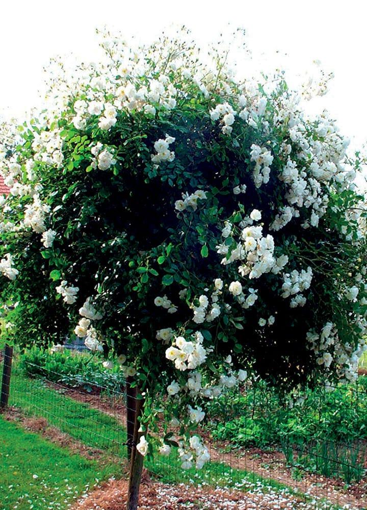 plantation rosier pleureur