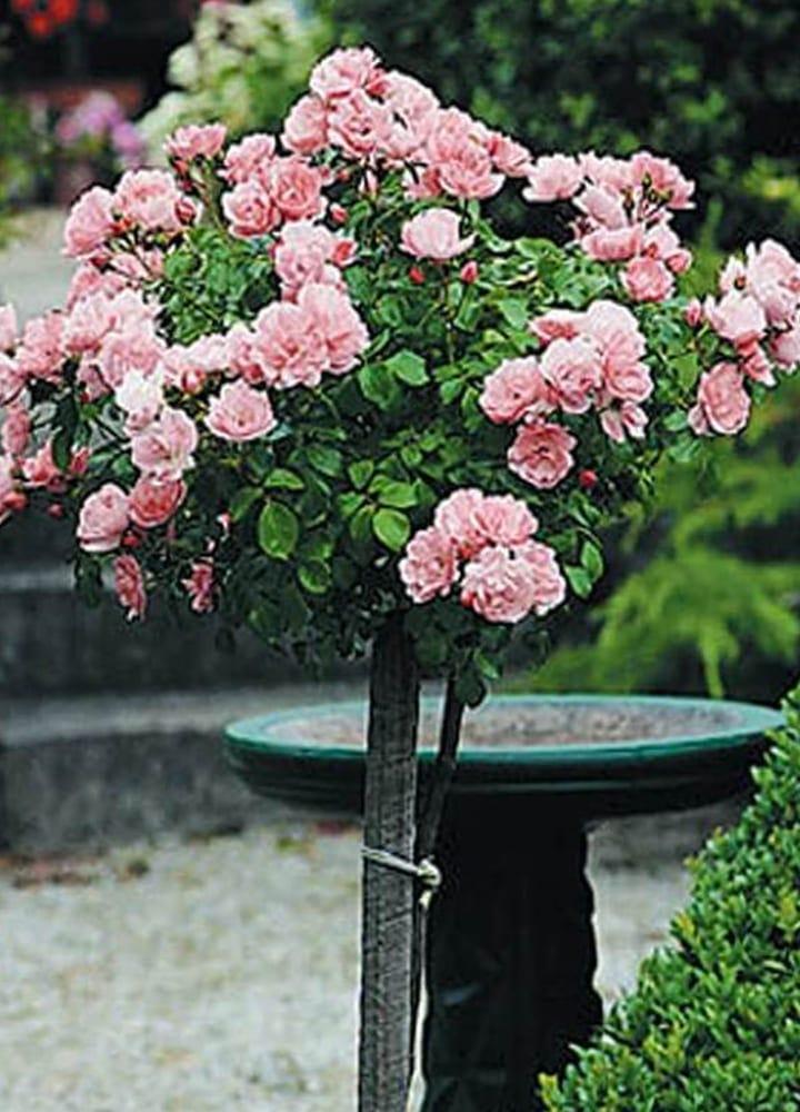 plantation rosier tige