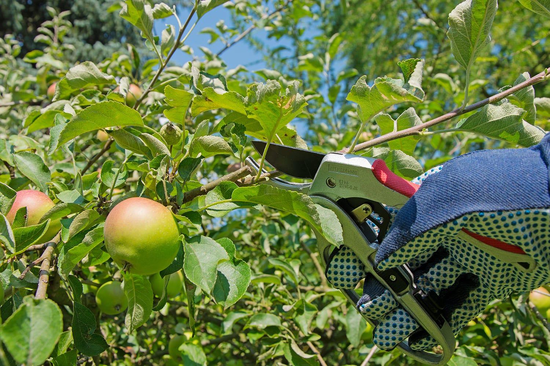 taille fruitiers jardin