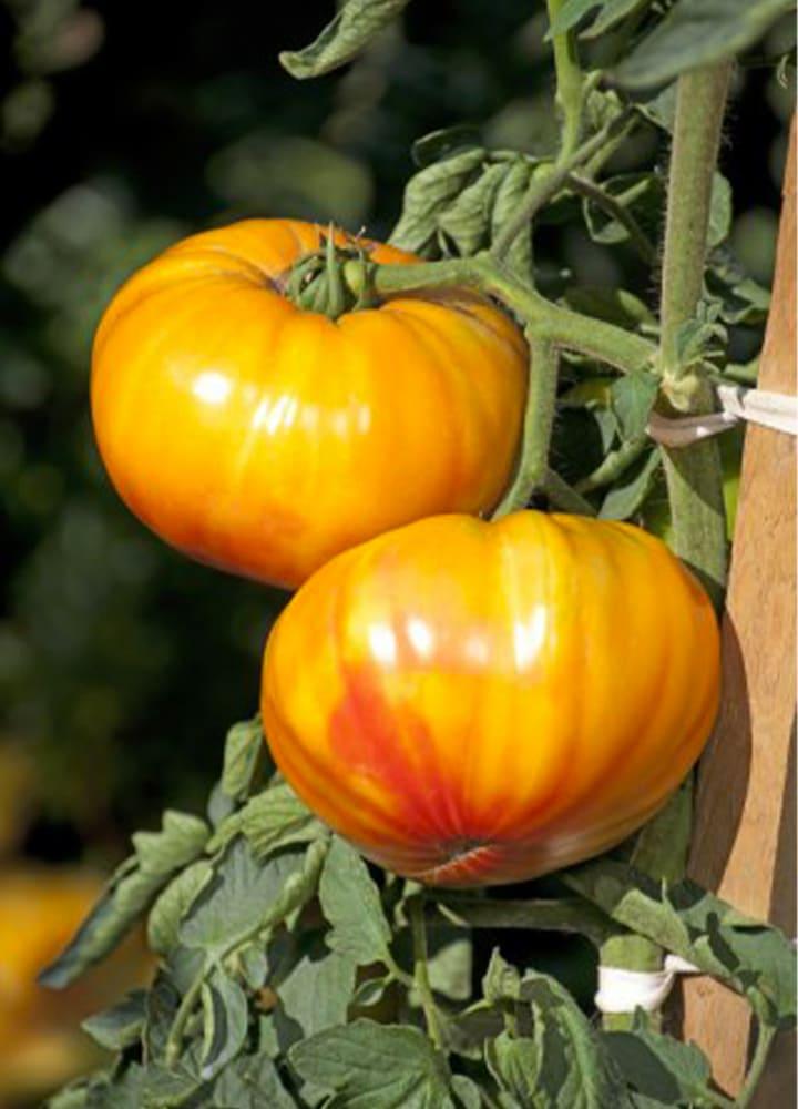 plantation tomate buffalosun pour potager