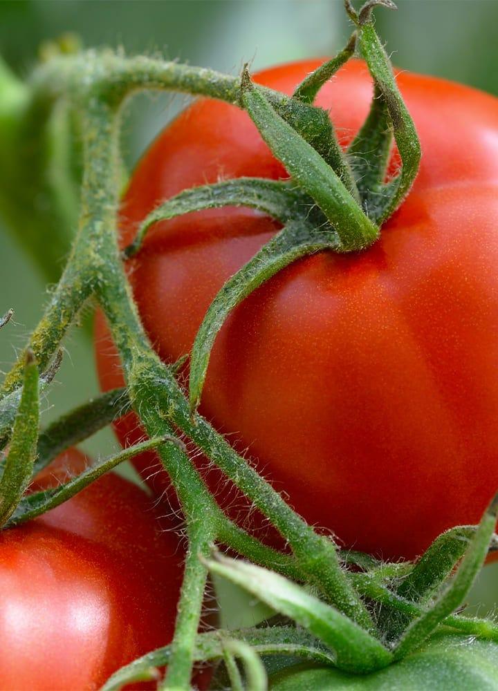 plantation tomate félicia pour potager
