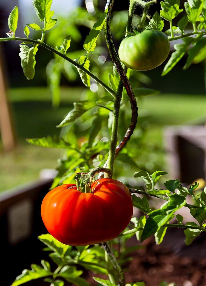 plantation tomate marmande pour potager