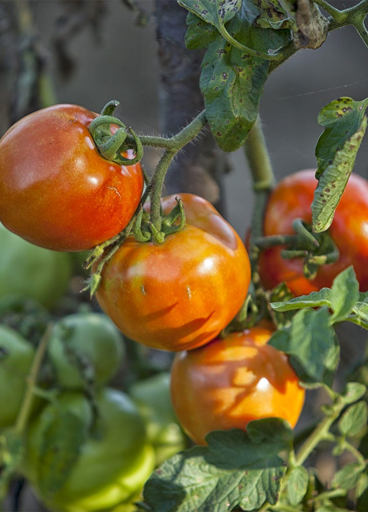 plantation tomate montfavet pour potager
