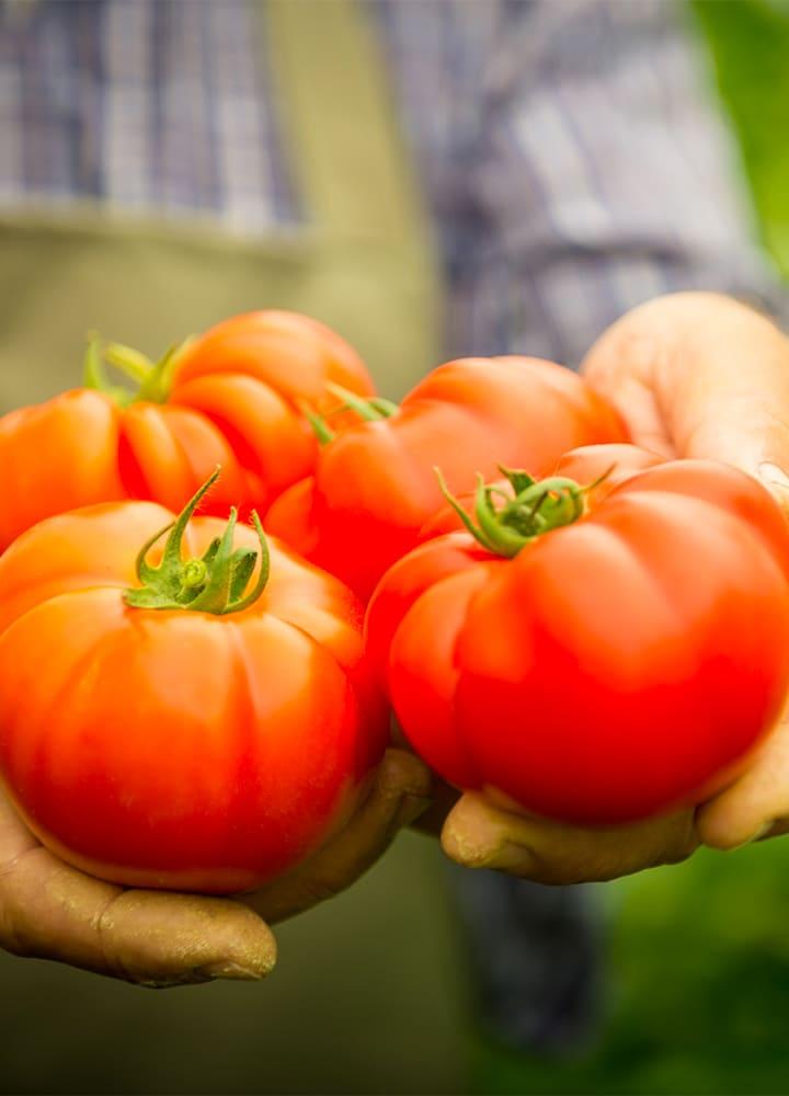 plantation tomate saint pierre pour potager