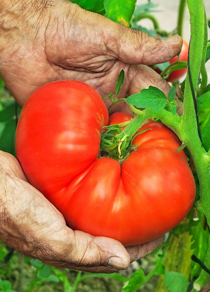 plantation tomate super-steak pour potager