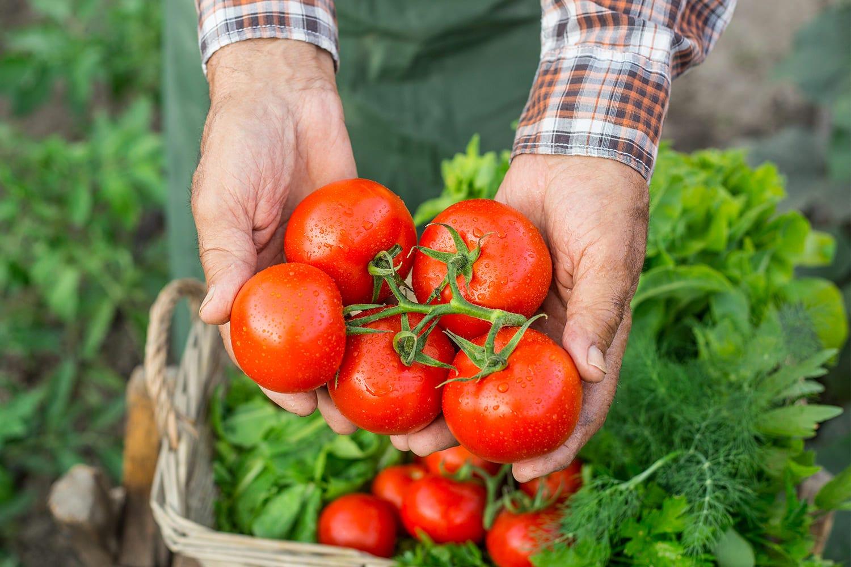 récolte tomates en grappe du jardin